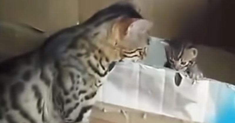 Бенгальская кошка разговаривает со своим малышом. Вы все поймете даже на котячьем языке!