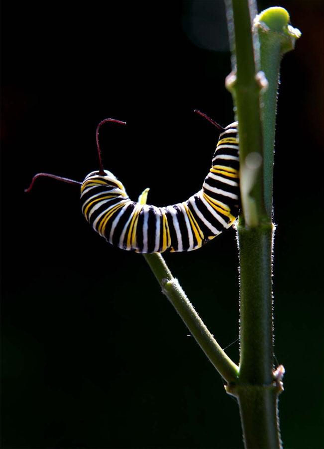 940 Метаморфозы и рождение бабочки монарха