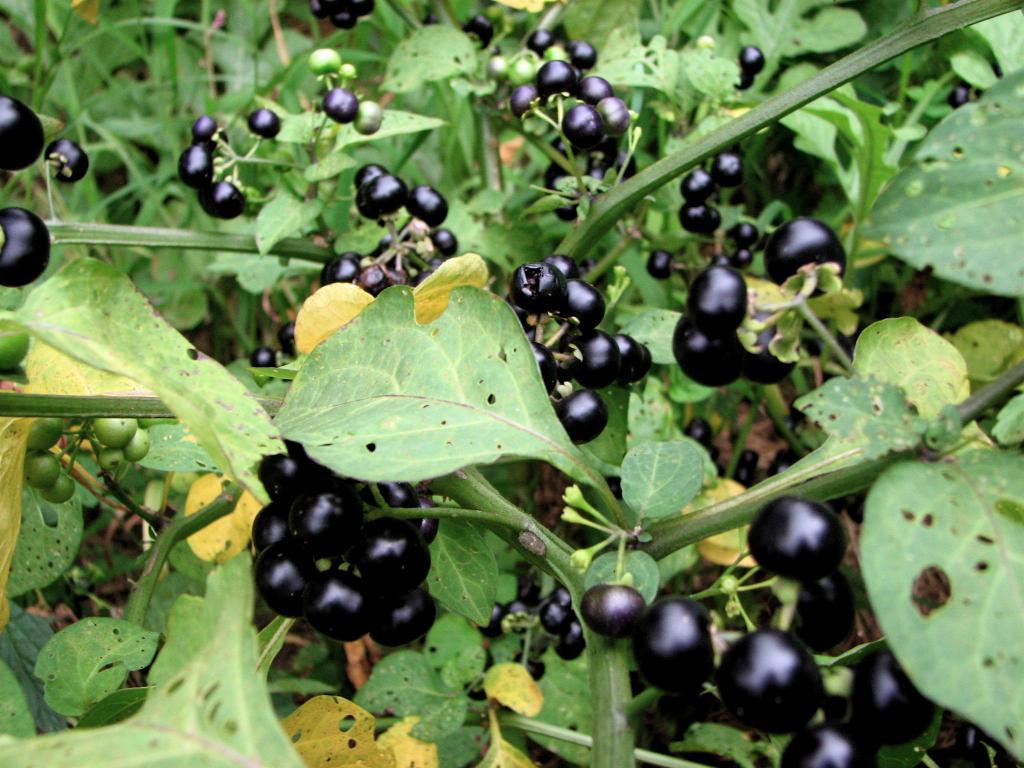Санберри: посадка и уход, особенности выращивания из семян