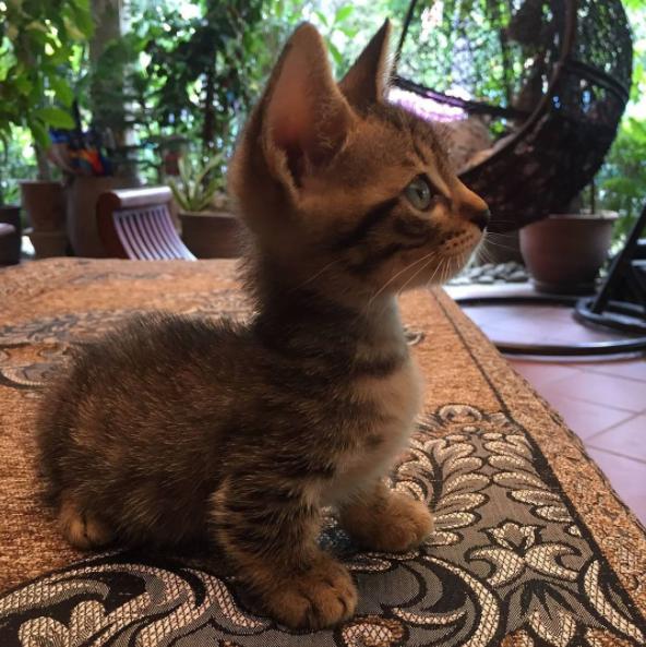 4. Будто осуществившаяся мечта  животные, кошка, манчкин