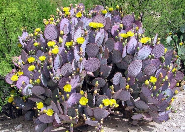Фиолетовый кактус необычное, природа, удивительное
