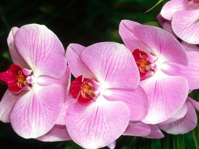 Картинка Мотылек Орхидея скачать бесплатно, без смс, без регистрации - тема для рабочего стола