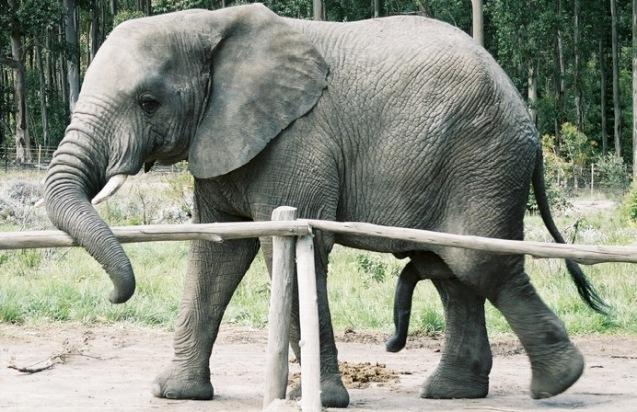 Какого размера у слона член фото 446-50
