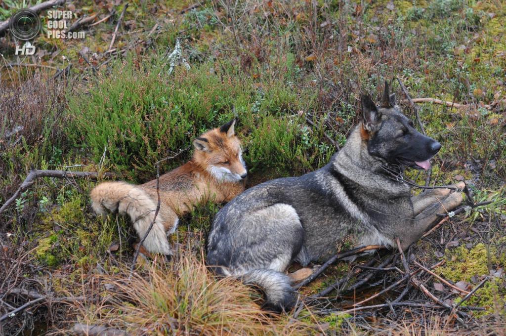 Пес случайно встретил дикую лису