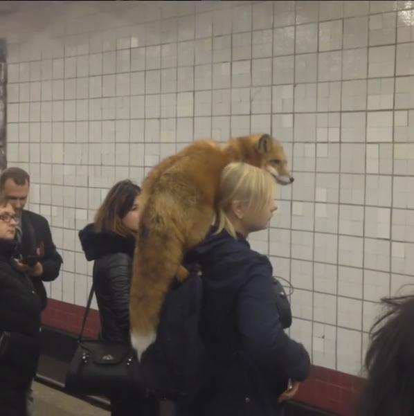 """Хозяйка """"метрошной"""" лисы рассказала, как на неё реагируют в столичной подземке"""