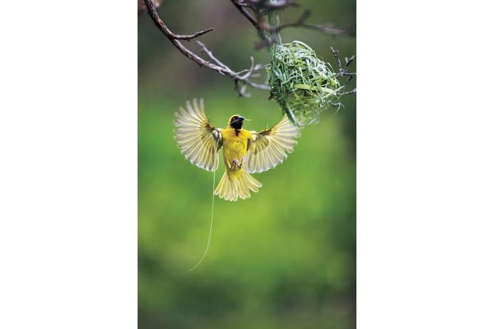 Птица старательно строит гнездо для будущего потомства, Намибия