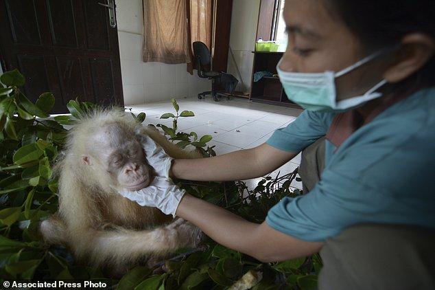 В Индонезии выходили и выпустили на волю единственного в мире орангутана-альбиноса