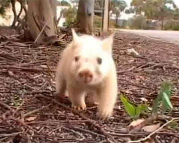 Австралийка спасла от смерти вомбата-альбиноса