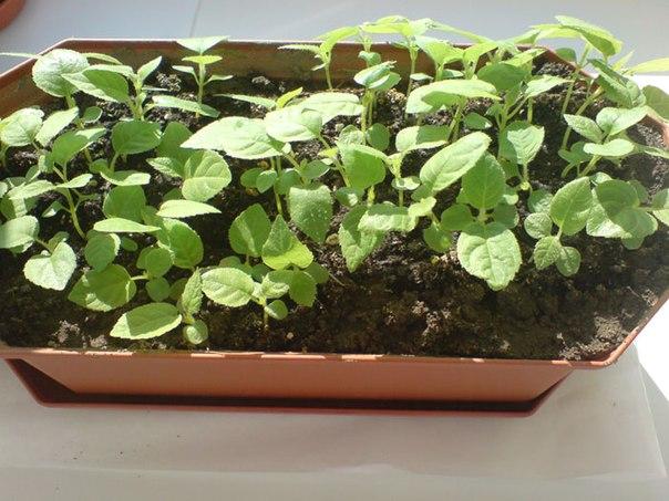 Как вырастить киви дома 2