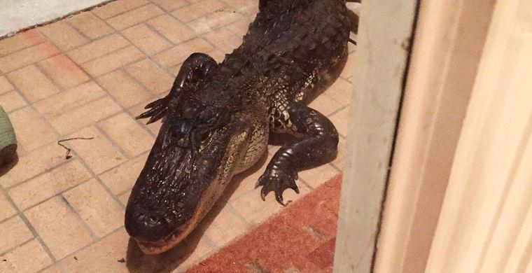 Вежливый аллигатор постучался в дверь во Флориде