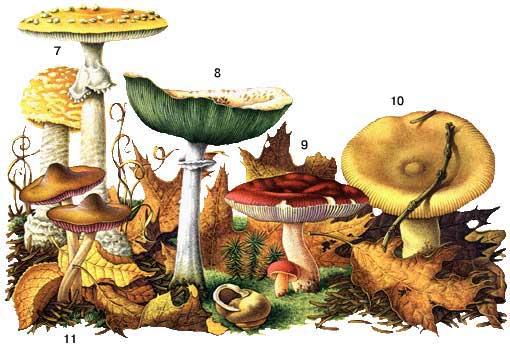 Определитель грибов, как отличить съедобные грибы, как отличить ядовитые грибы, календарь грибника, грибной календарь, календарь грибника на 2014 год, календарь грибника на лето, календарь грибника на осень, когда собирать грибы