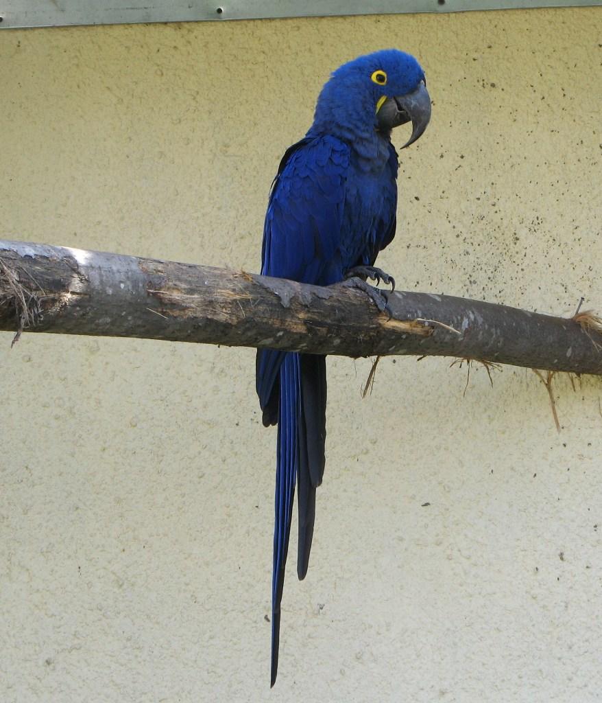 Самый большой попугай в мире — Гиацинтовый ара