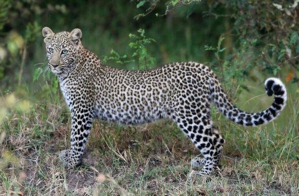 Молодой леопард упустил стаю мангустов