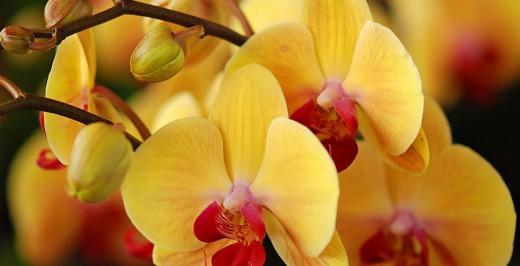 Орхидея в отличие от большинства красиво — цветущих растений не вызывает аллергию