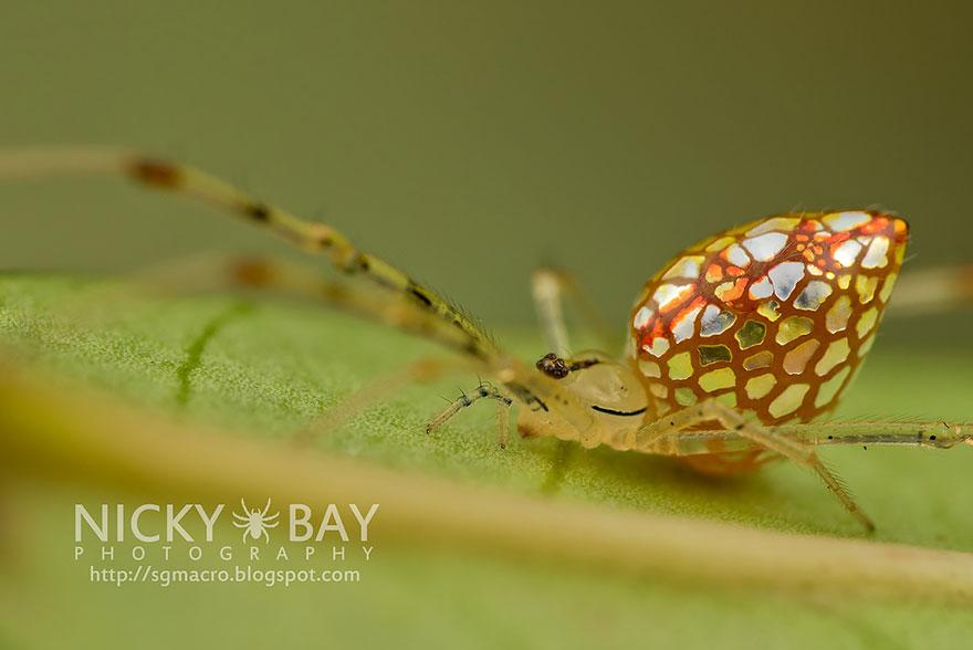 mirror-spider-thwaitesia-argentiopunctata-5