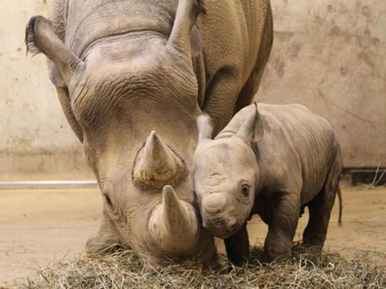 В зоопарке Сент-Луиса родился детеныш черного носорога