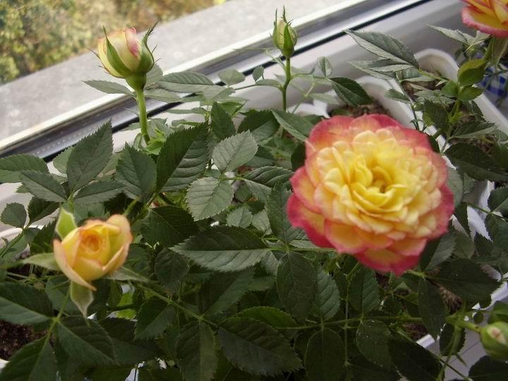 Из-за чего страдают комнатные розы зимой. - Энциклопедия статей