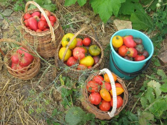 урожай в соломе