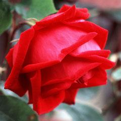 Календарь садовых работ для роз. Осень.