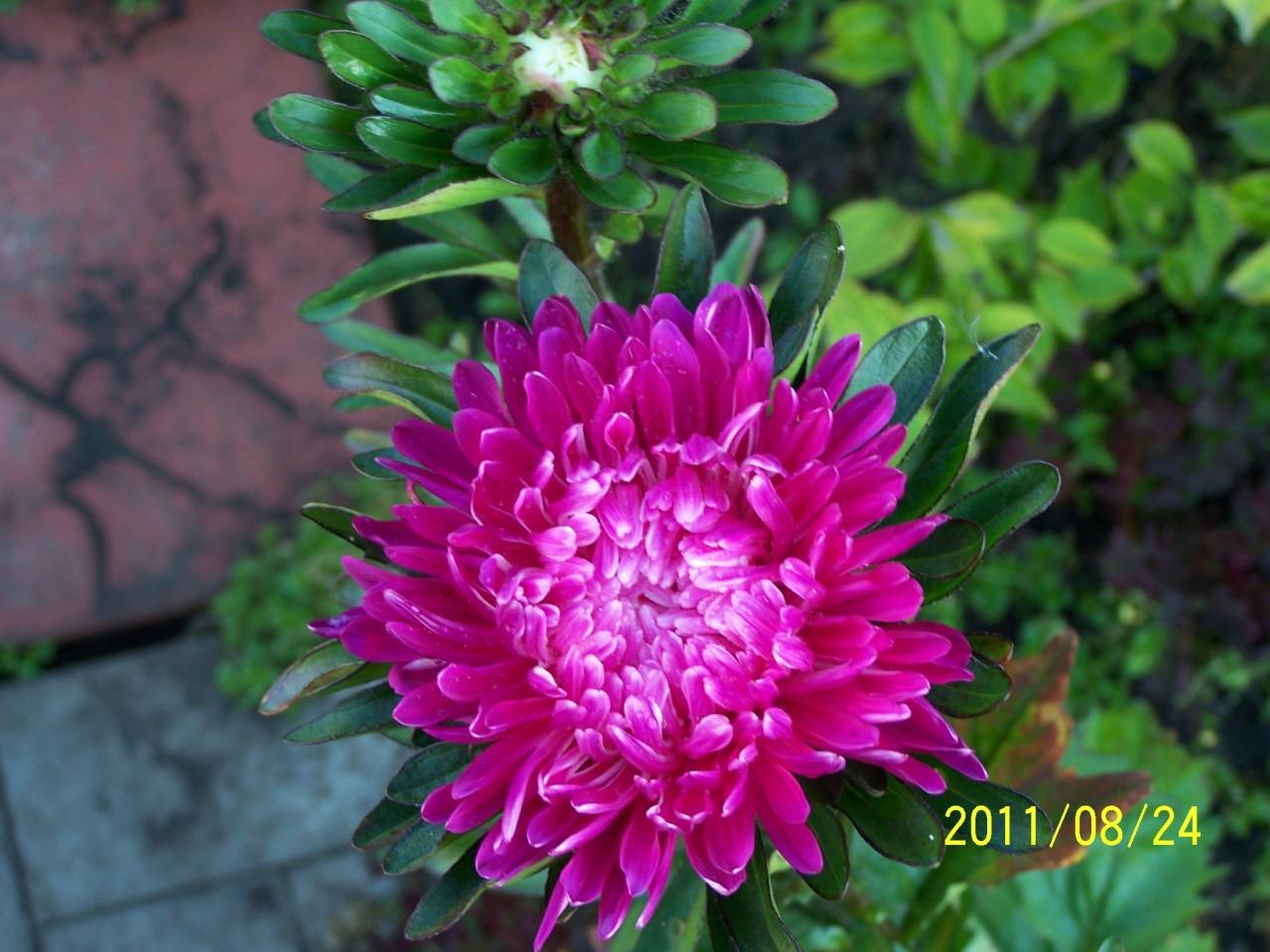 Наши цветы из палисадника огород без