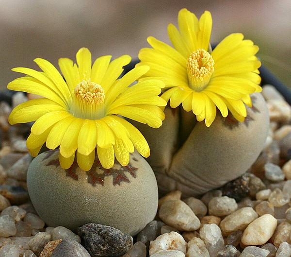 Литопсы - камни, которые цветут