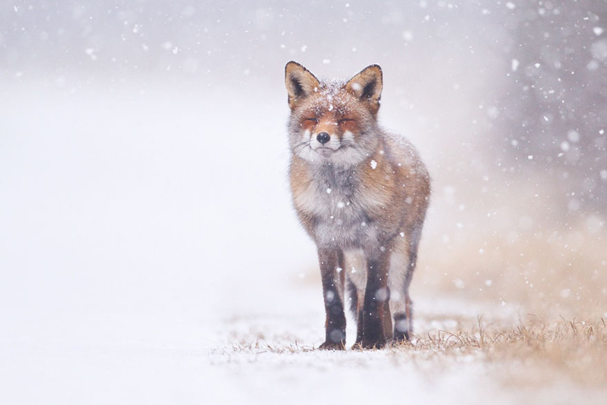 Winter Fox Photography