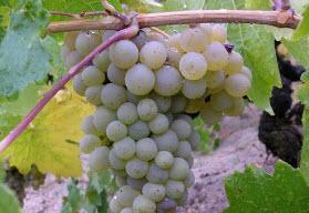 Что делать с виноградом осенью - готовимся, настраиваемся...