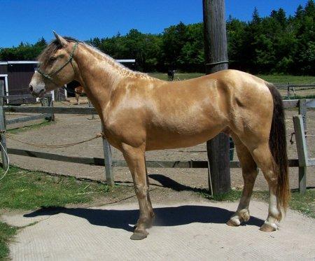 Фото лошади янтарной масти
