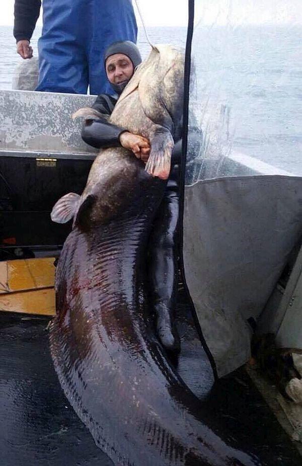 На Днепре выловили сома в 140 кг