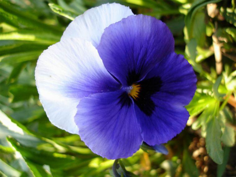 Фиалка - декоративно - цветущие растения - классы комнатных цветов и растений - Каталог статей - растения и комнатные цветы с фо