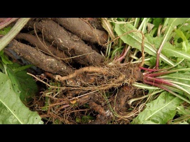 Лечебные свойства корня лопуха и одуванчика