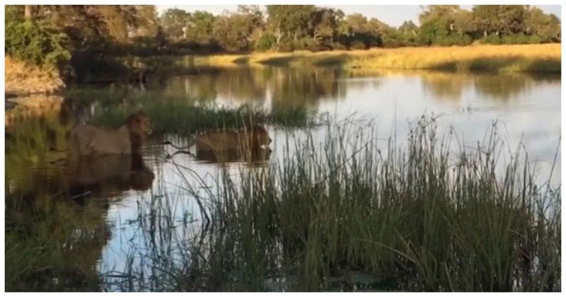 Старый лев спас соплеменника от крокодила