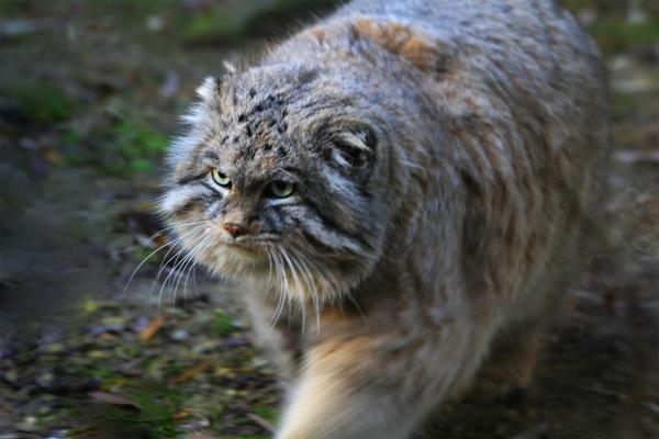 Домашний котик, разозлившись…