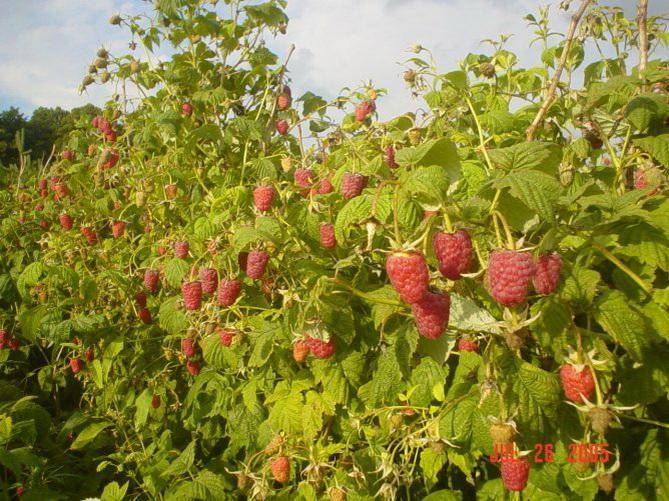 Выращивание малины как бизнес в России