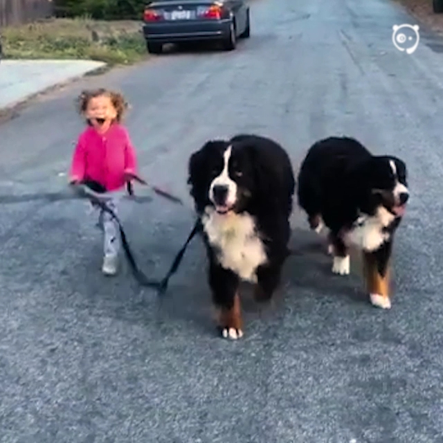 Little Girl Is Being Raised With Two Giant Dogs And They Do Everything Together