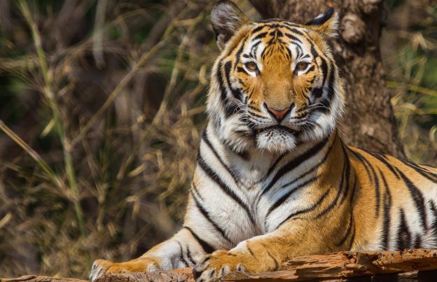 Выпущенная в Приамурье тигрица съела кабана, который злил ее у вольера