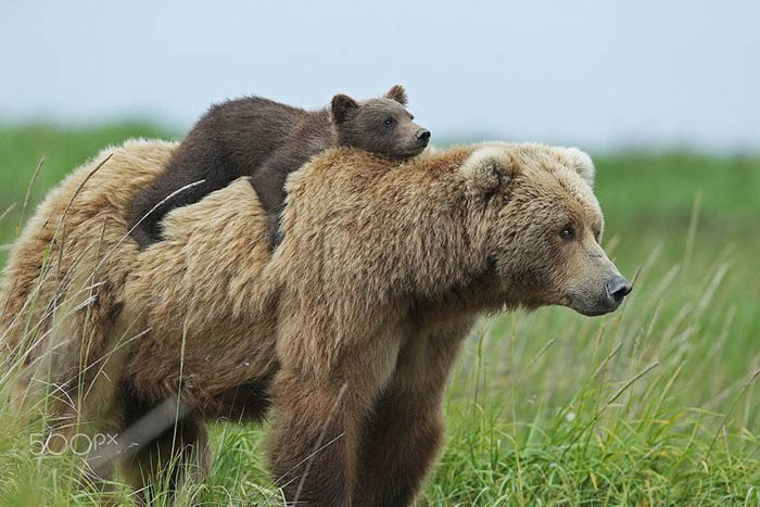 Медведицы и их детёныши. Невероятно милые фотографии