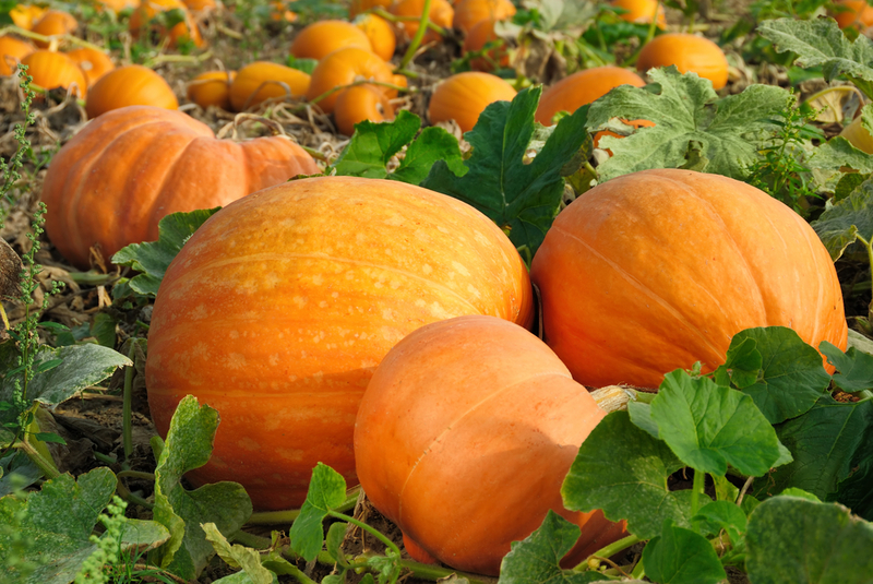 Срок созревания среднеспелых сортов тыквы в среднем составляет 110-120 дней