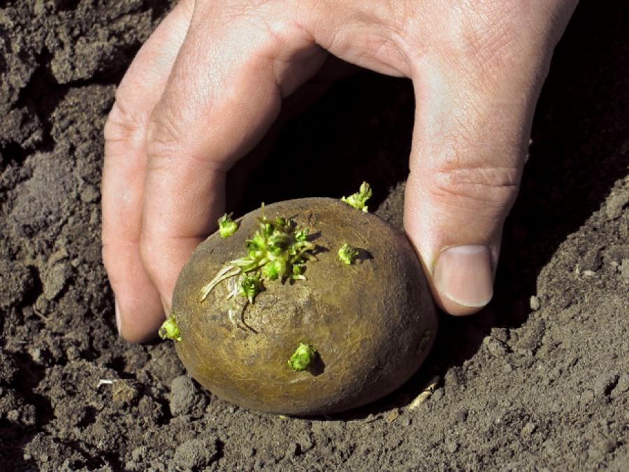 Сколько золы нужно при посадке картошки