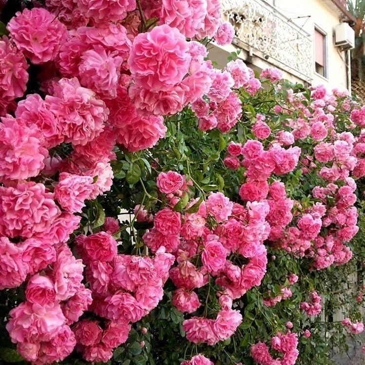 К плетистым розам