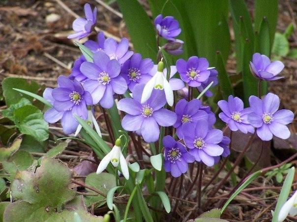 Печёночница или перелеска - красивый и изысканный первоцвет