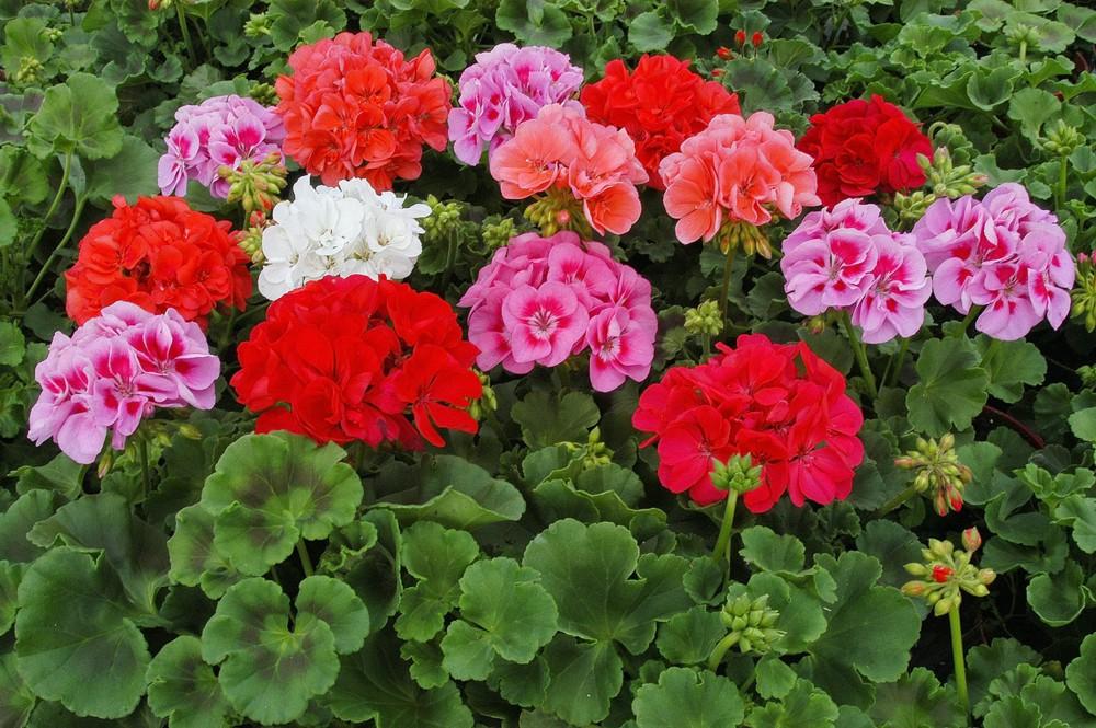 Герань -пышное цветение