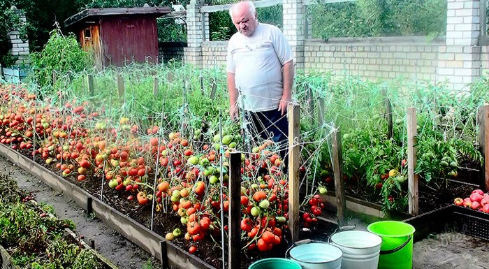 Дедовский рецепт для томатов и другие огородные хитрости