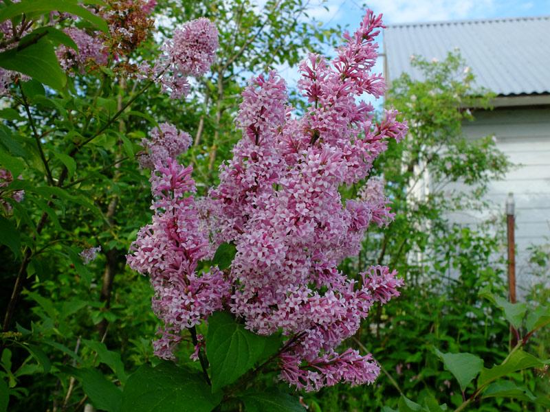 Венгерская сирень (лат. Syringa josikaea)