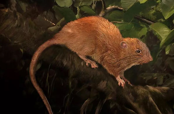 Крыс-гигантов нашли на Соломоновых островах