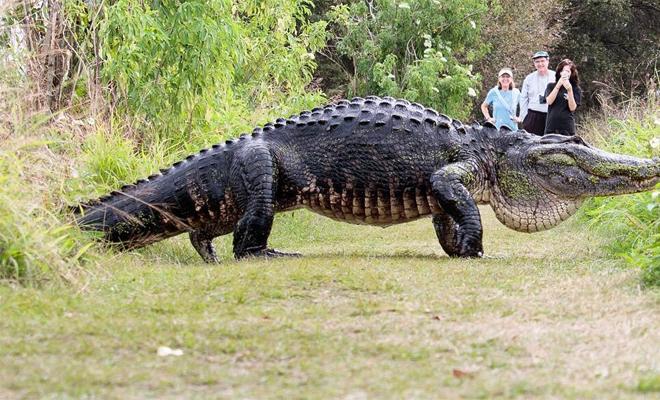 Во Флориде на видео засняли самого большого крокодила