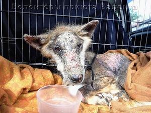 Пёс - Мишка из владимирского приюта гниёт заживо…