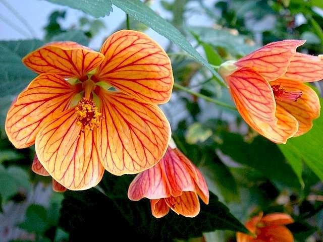 Абутилон — неприхотливое комнатное растение