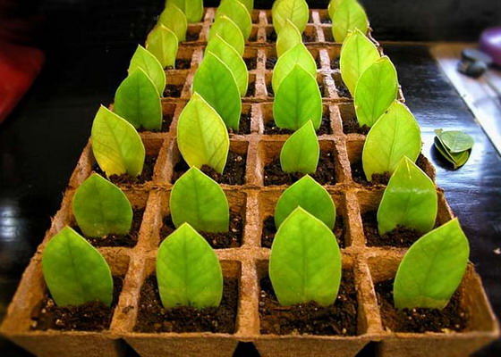 Замиокулькас: уход, размножение листом и черенком замиокулькаса