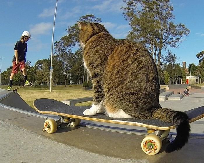 Кот-скейтбордист мастерски исполняет трюки на доске (ВИДЕО)